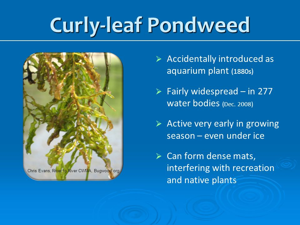 Curly-leaf Pondweed Accidentally introduced as aquarium plant (1880s)