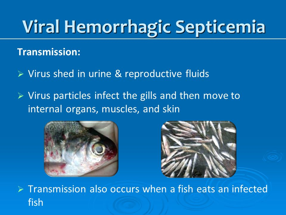 Aquatic invasive species in wisconsin ppt download for Septicemia in fish