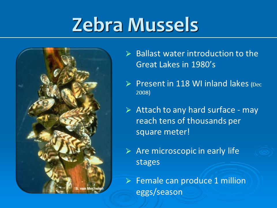 Zebra Mussels Ballast water introduction to the Great Lakes in 1980's