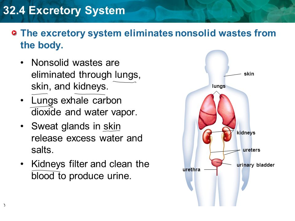 Hand In Worksheet On The Excretoryurinary System Ppt Video Online