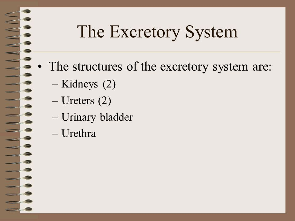 excretory system function and parts. - ppt download, Cephalic Vein