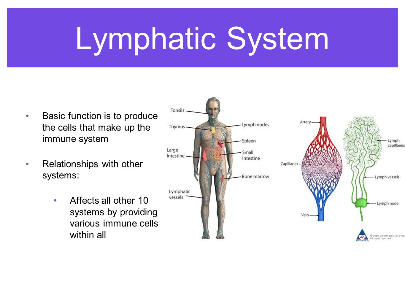 Lymphatic System Works With Other Systems Erkalnathandedecker