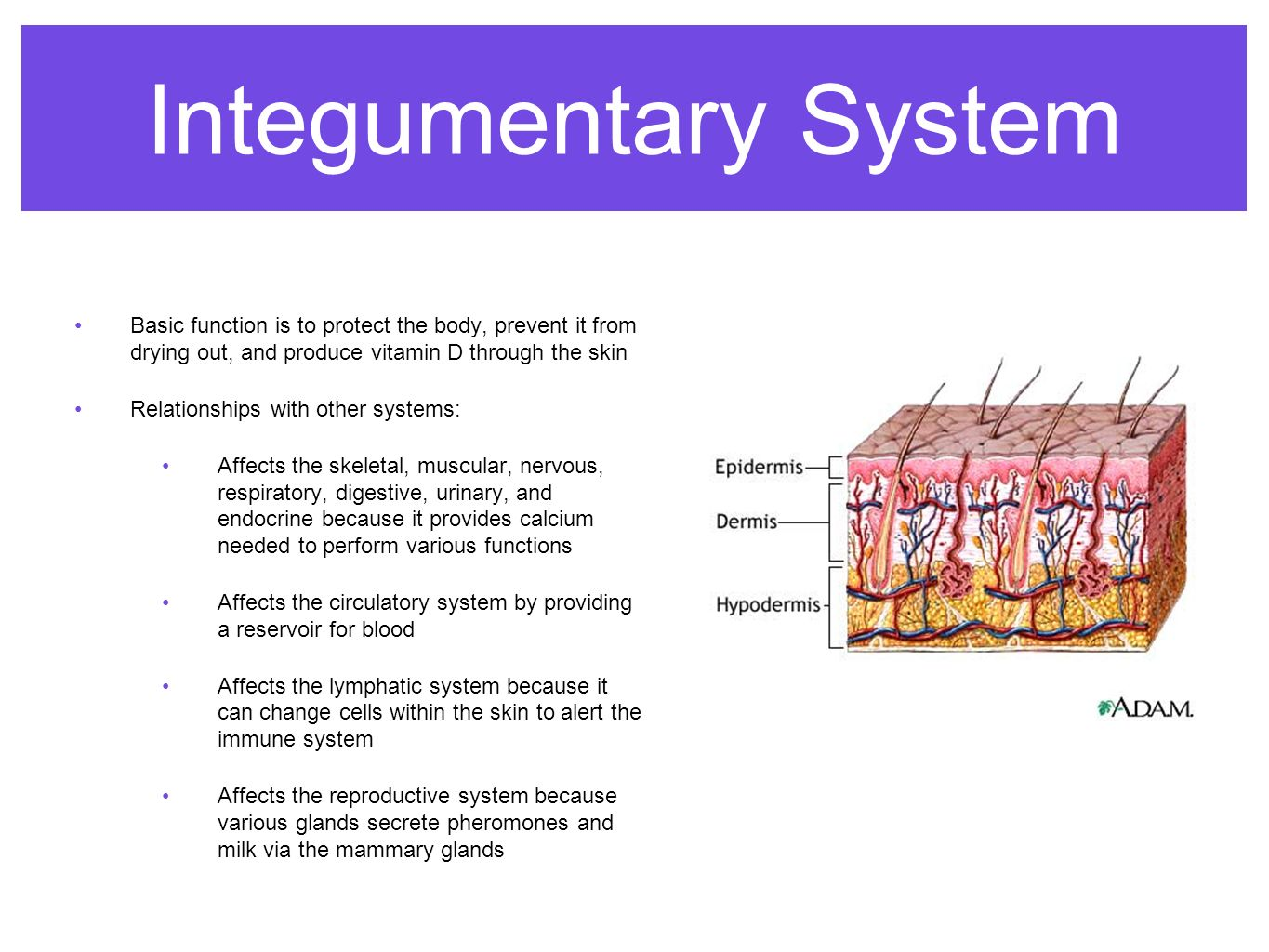 relationship between integumentary system and digestive
