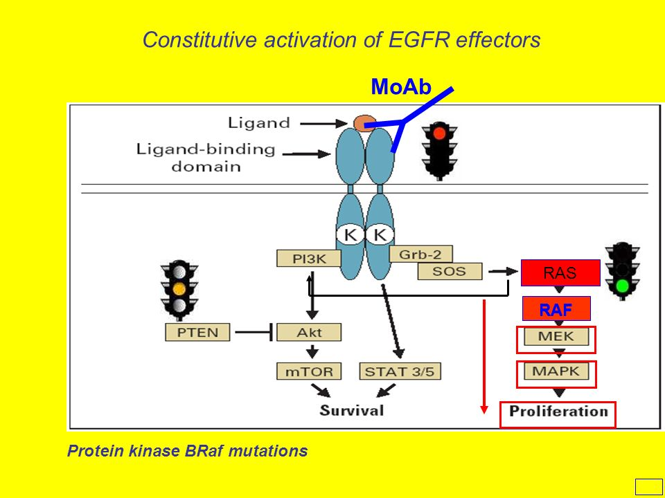 Constitutive activation of EGFR effectors