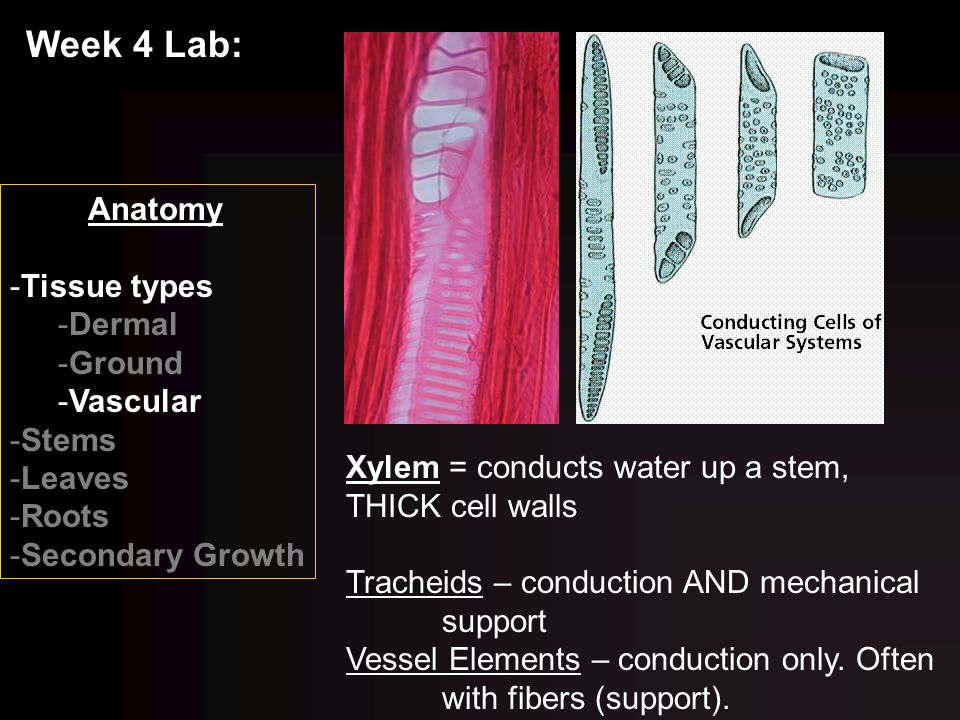 anatomy tissue lab Learning about tissues in your anatomy and physiology (a&p) course will increase your understanding of how organs are put together and how they work.