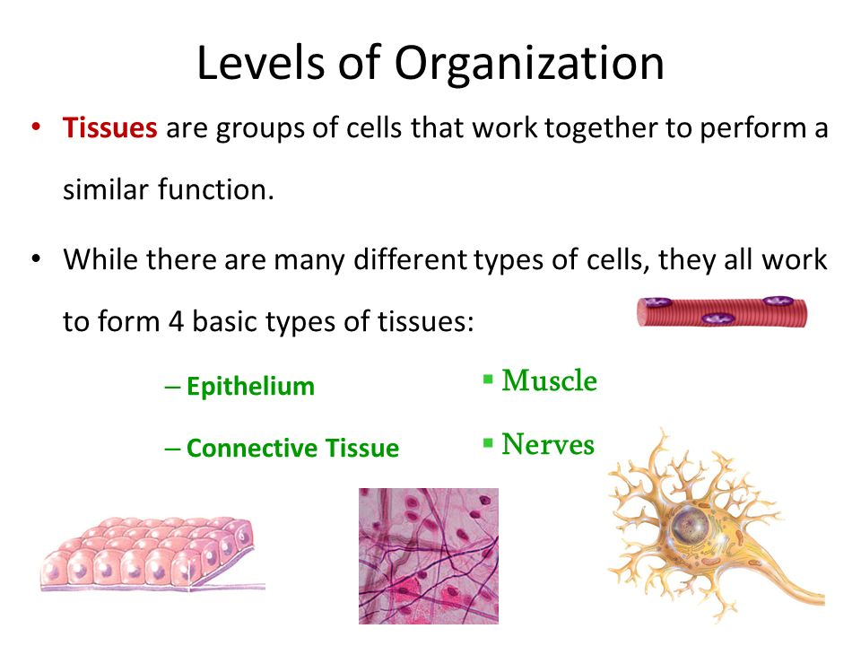 Tissue Level Of Organization College Paper Example