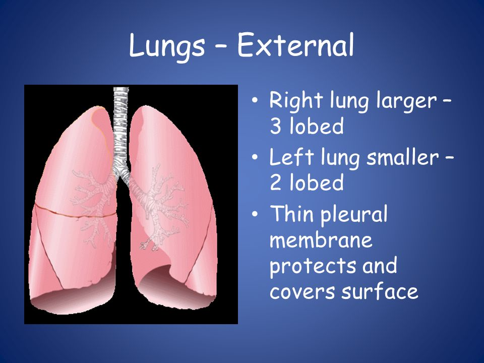 Lungs – External Right lung larger – 3 lobed