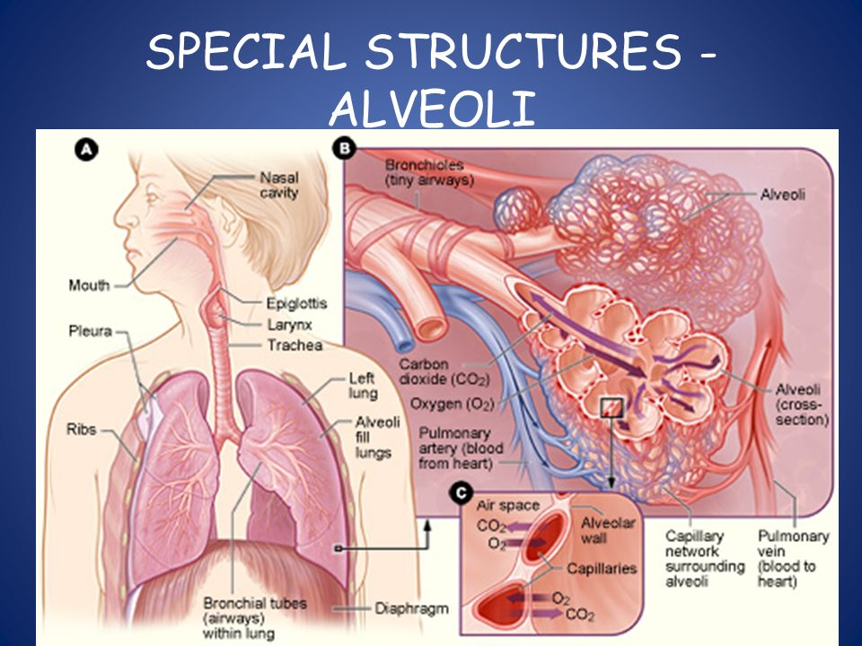 SPECIAL STRUCTURES - ALVEOLI