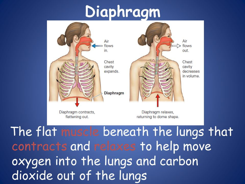 Diaphragm The flat muscle beneath the lungs that contracts and relaxes to help move oxygen into the lungs and carbon dioxide out of the lungs.