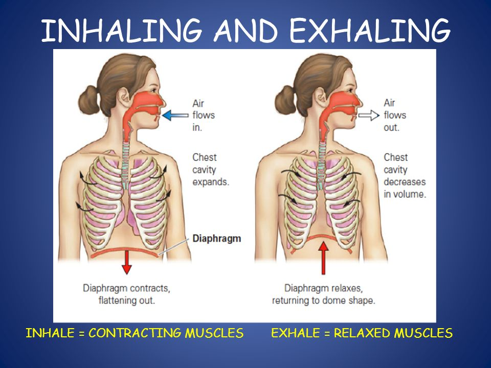 INHALING AND EXHALING INHALE = CONTRACTING MUSCLES EXHALE = RELAXED MUSCLES