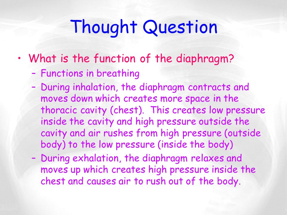 Thought Question What is the function of the diaphragm