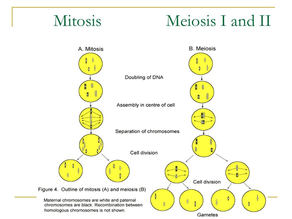 Mitosis Meiosis I and II