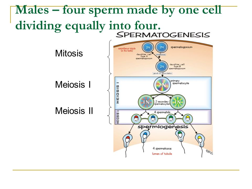 Males – four sperm made by one cell dividing equally into four.