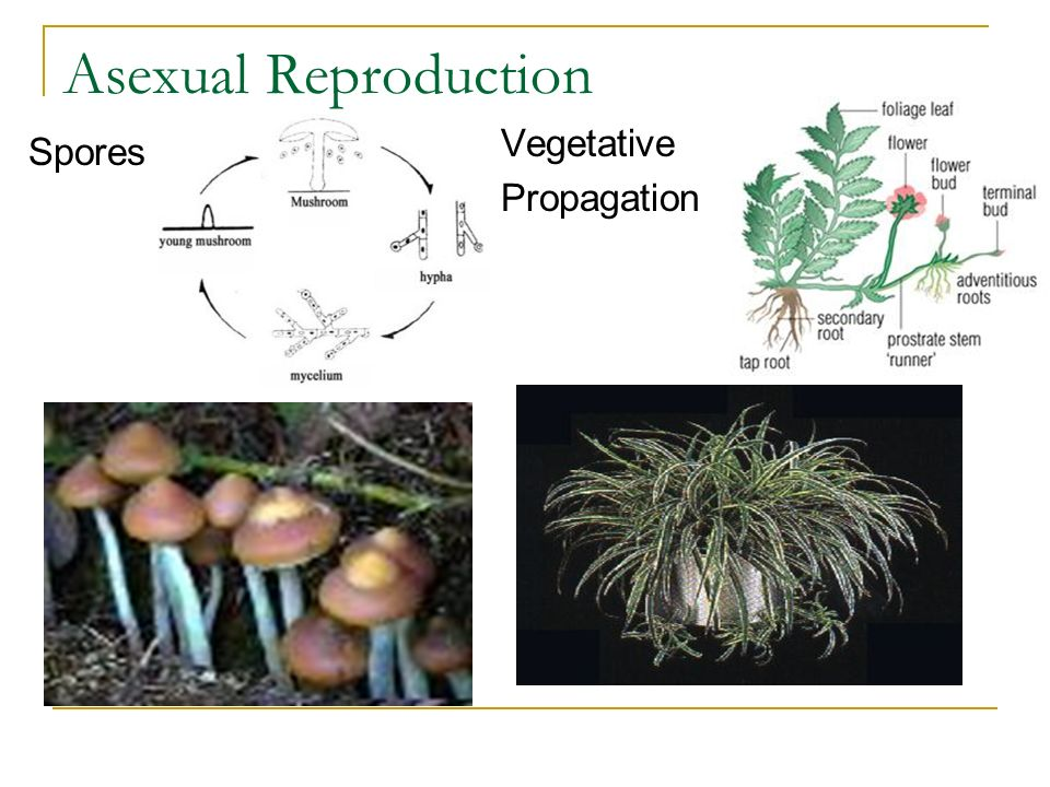 Asexual Reproduction Vegetative Propagation Spores
