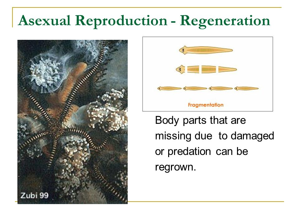 Asexual Reproduction - Regeneration