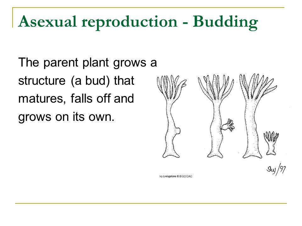 Asexual reproduction - Budding