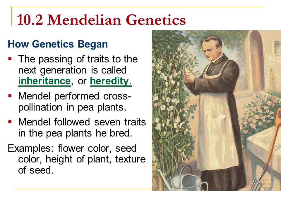10.2 Mendelian Genetics How Genetics Began