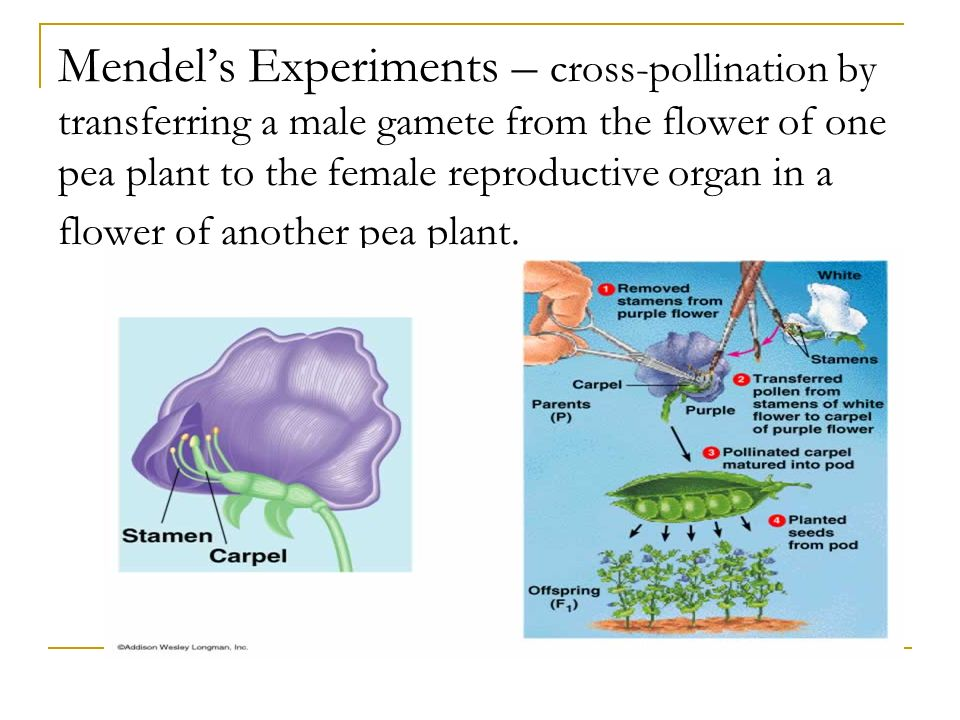 Mendel's Experiments – cross-pollination by transferring a male gamete from the flower of one pea plant to the female reproductive organ in a flower of another pea plant.