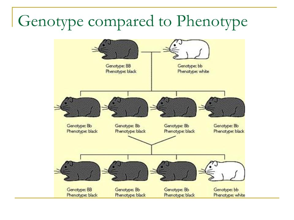 Genotype compared to Phenotype