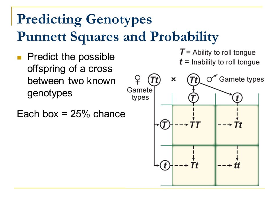 Predicting Genotypes Punnett Squares and Probability
