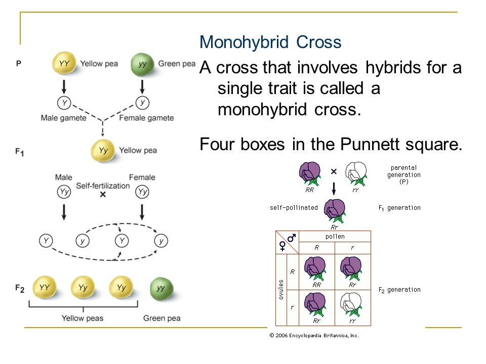 Monohybrid Cross A cross that involves hybrids for a single trait is called a monohybrid cross.