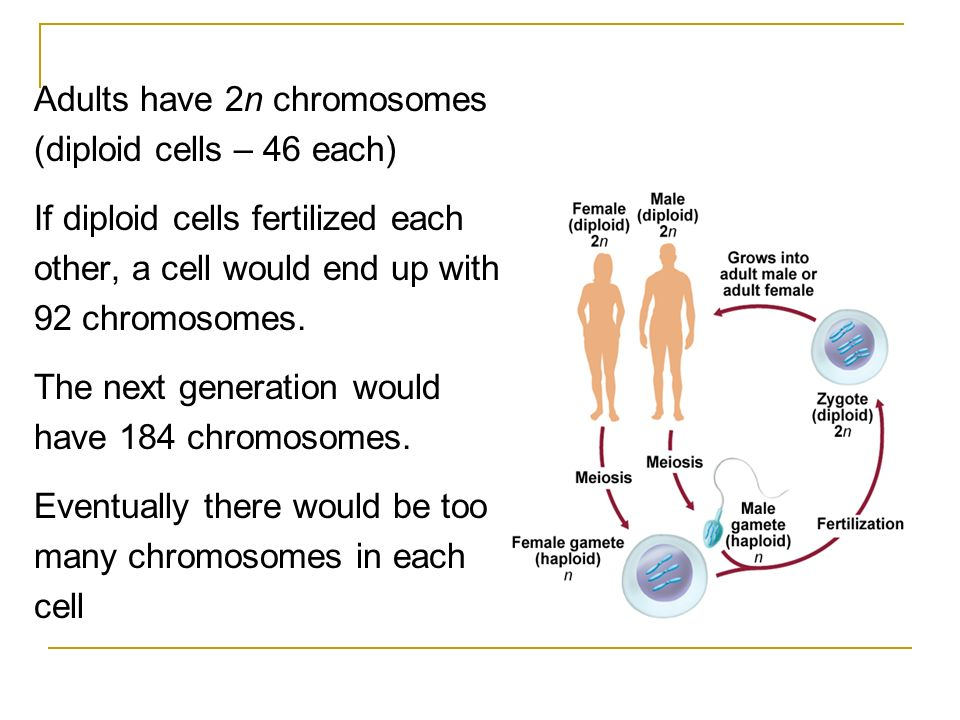 Adults have 2n chromosomes