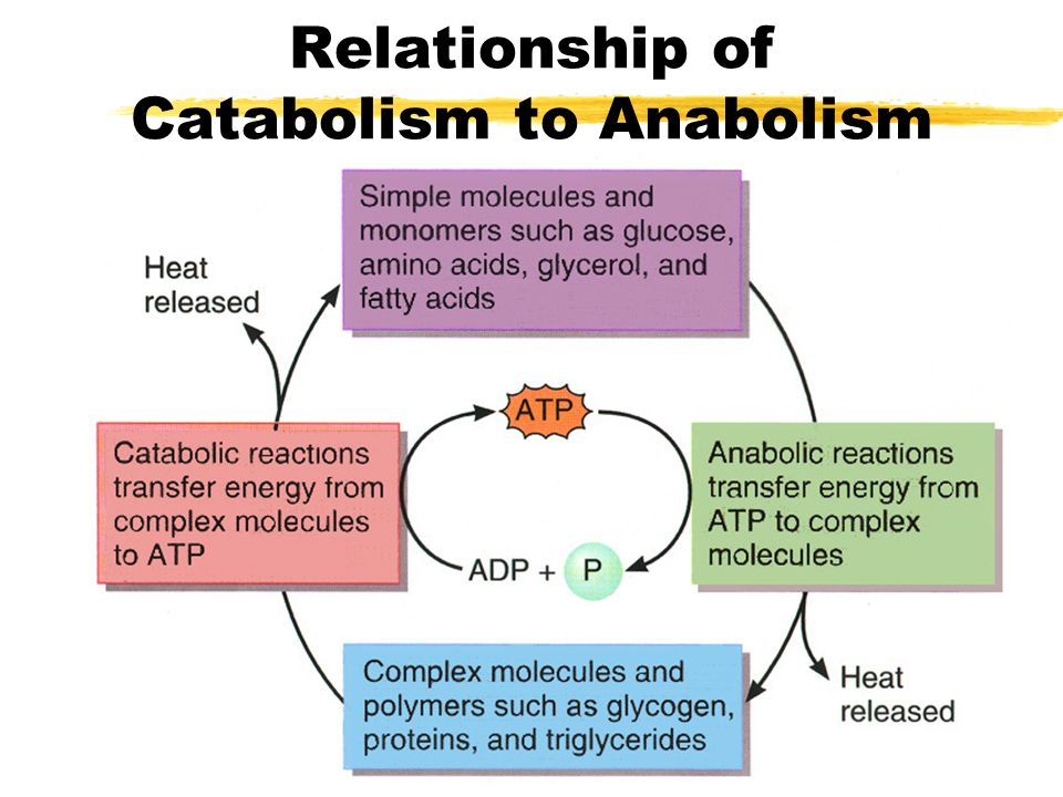 fatty acid catabolism and anabolism relationship