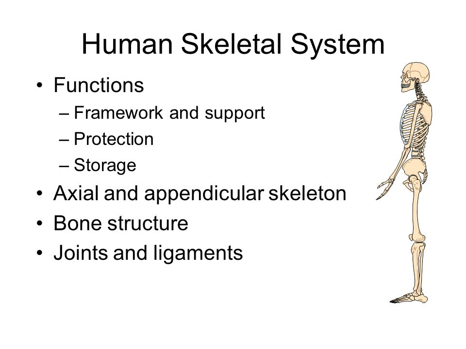 the human body. - ppt download, Skeleton