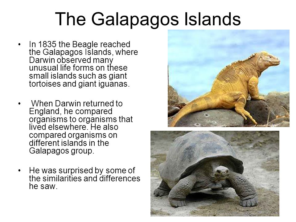 the look of evolution in the islands of galapagos Visiting the galápagos islands is like walking into the middle of a wildlife documentary travelers from all across the globe come here to spot the islands' incredible variety of endemic animals penguins, fur seals, giant tortoises, marine iguanas, blue-footed boobies, hawks—the list is endless.