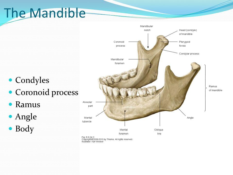 Angle Of Mandible