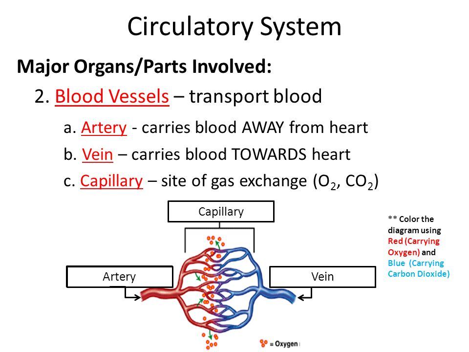 how is the cardiovascular system involved The circulatory system of multicellular organisms has evolved to distribute  their  gag chains and that are involved in charge-dependent molecular sieving, one.