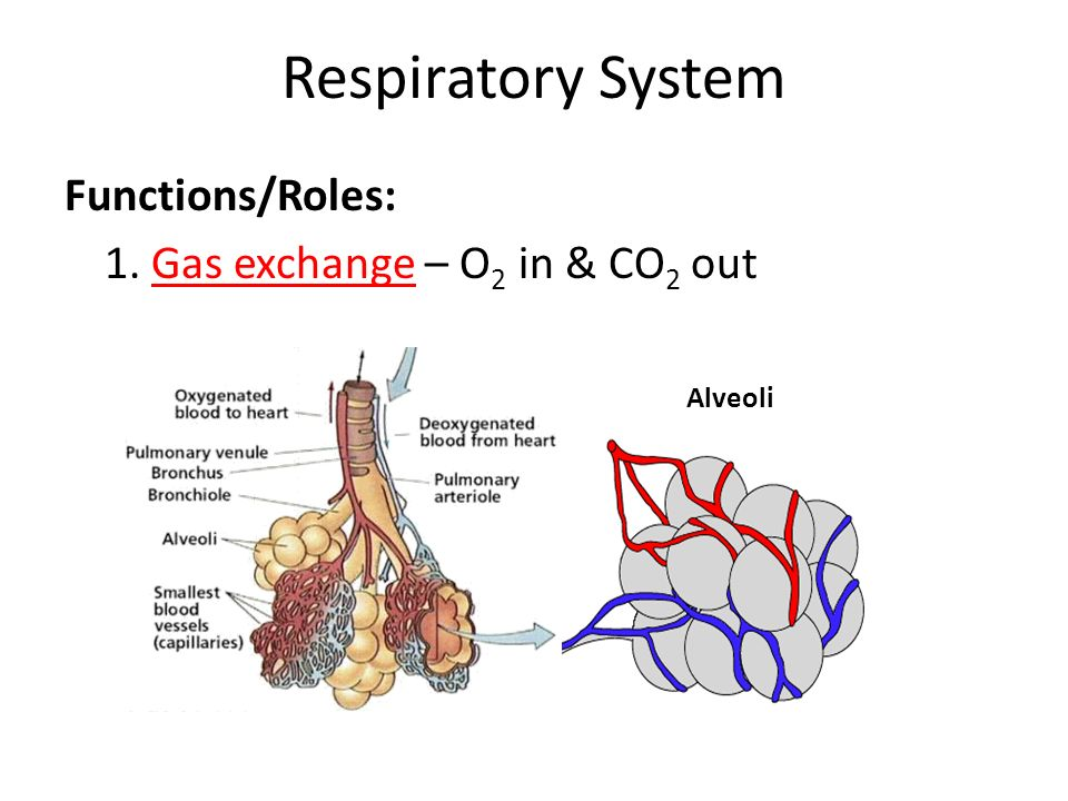 role of respiratory pigments in gaseous Gaseous exchange and transport  the role of the excretory system is to:  human respiratory system:-gaseous exchange in mammals takes place in millions of.