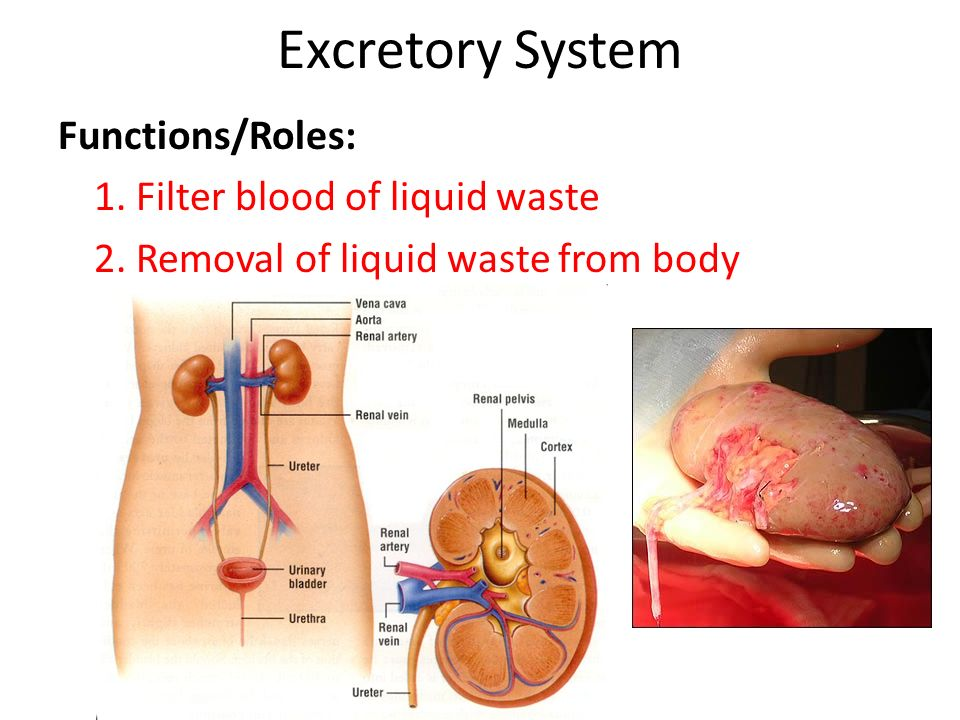 the human body. - ppt video online download, Cephalic Vein