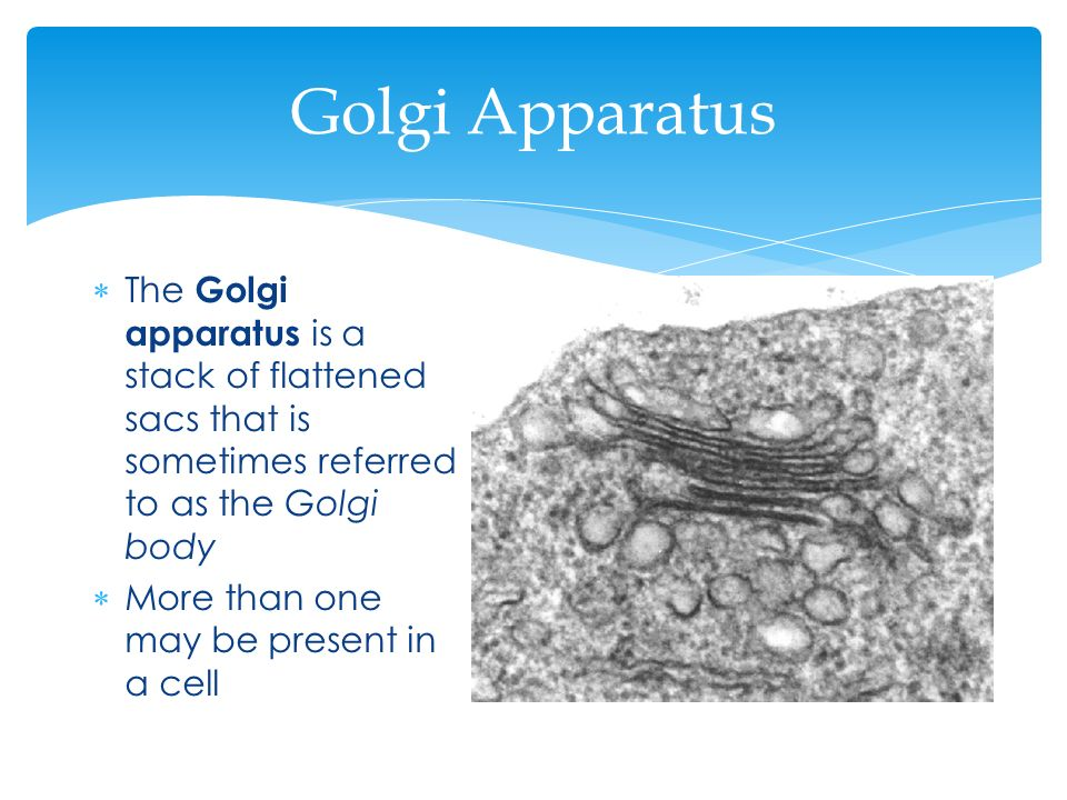 Golgi Apparatus The Golgi apparatus is a stack of flattened sacs that is sometimes referred to as the Golgi body.