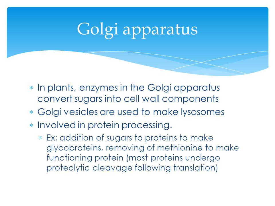 Golgi apparatus In plants, enzymes in the Golgi apparatus convert sugars into cell wall components.