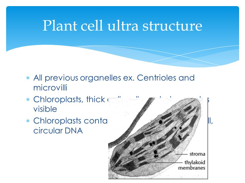 Plant cell ultra structure