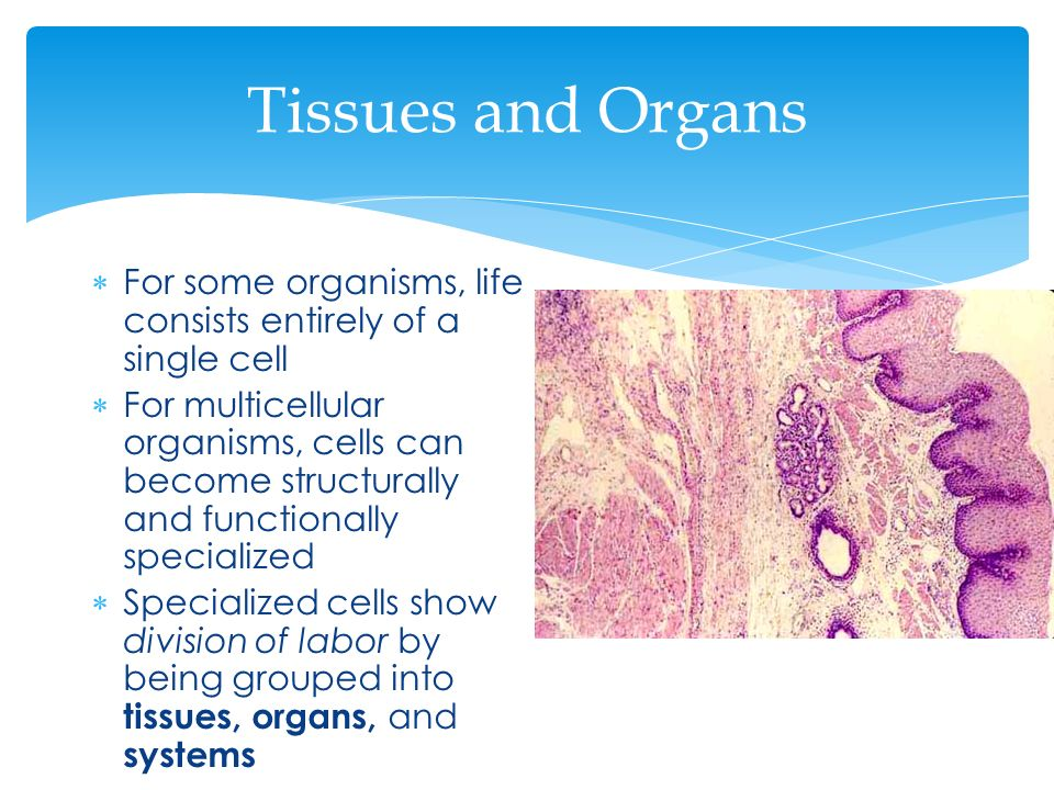 Tissues and Organs For some organisms, life consists entirely of a single cell.