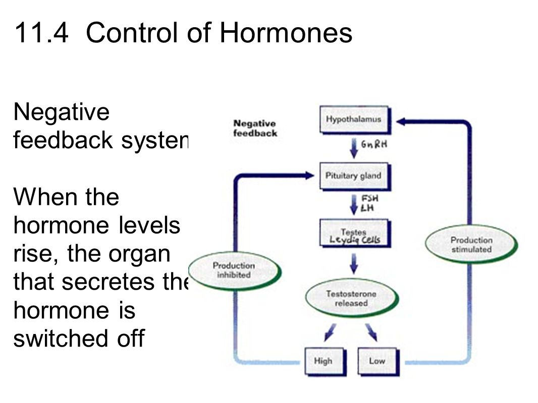 endocrine system and negative feedback mechanisms Chapter 18: the endocrine system 3 are regulated primarily by negative feedback control mechanisms • the endocrine system includes all the cells and.