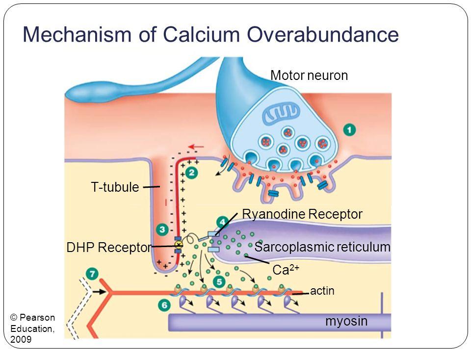 Mechanism of Calcium Overabundance