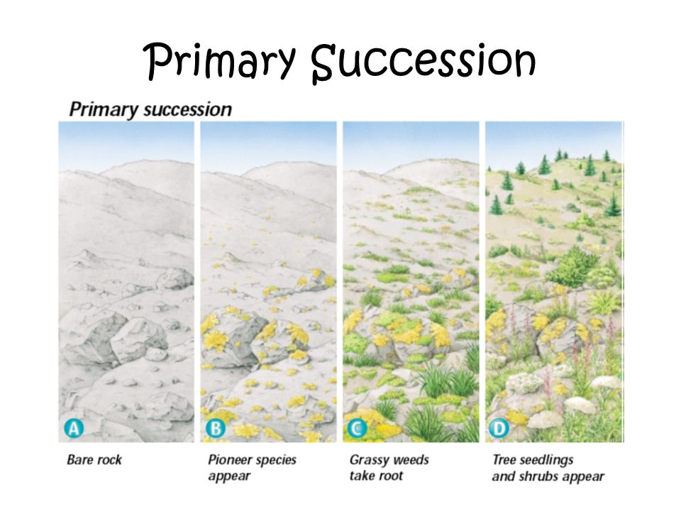 essay on secondary succession Primary succession secondary succession process by which one  community replaces another community that has been destroyed secondary .