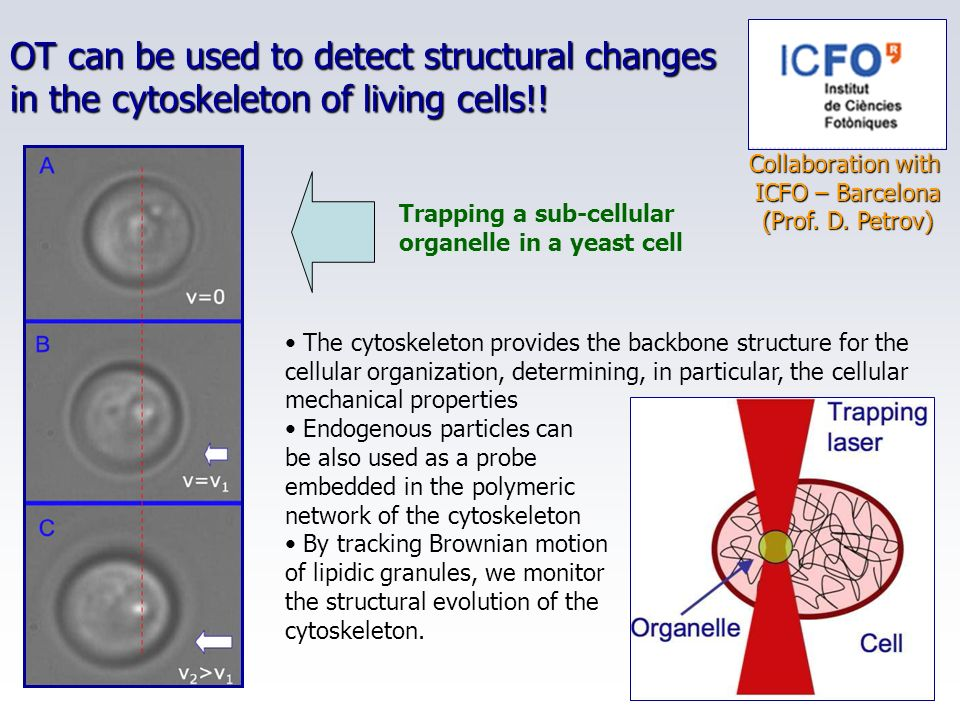OT can be used to detect structural changes in the cytoskeleton of living cells!!