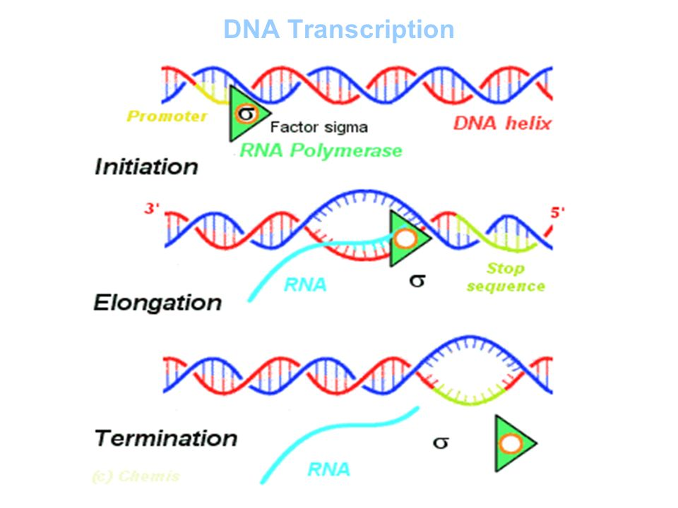 Dna Transcription From DNA to RNA The RN...