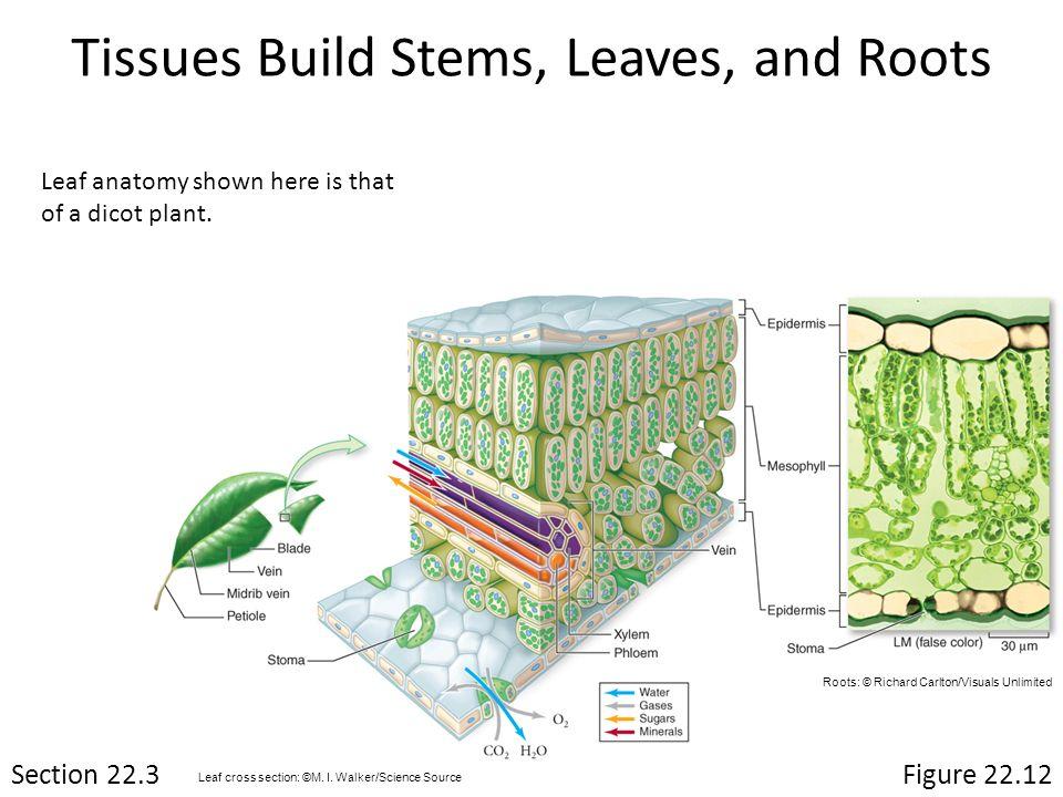 Perfect Plant Leaf Anatomy Model - Anatomy Ideas - yunoki.info