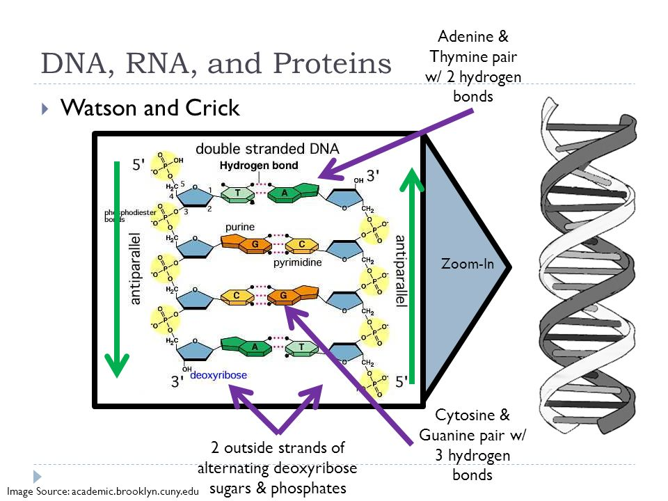 jordanf dna rna experiment 1 Answer: a primer is a short segment of rna that is synthesized by primase using dna as a template during dna replication once the primer is synthesized, dna polymerase then adds dna to the 3´ end of the rna.