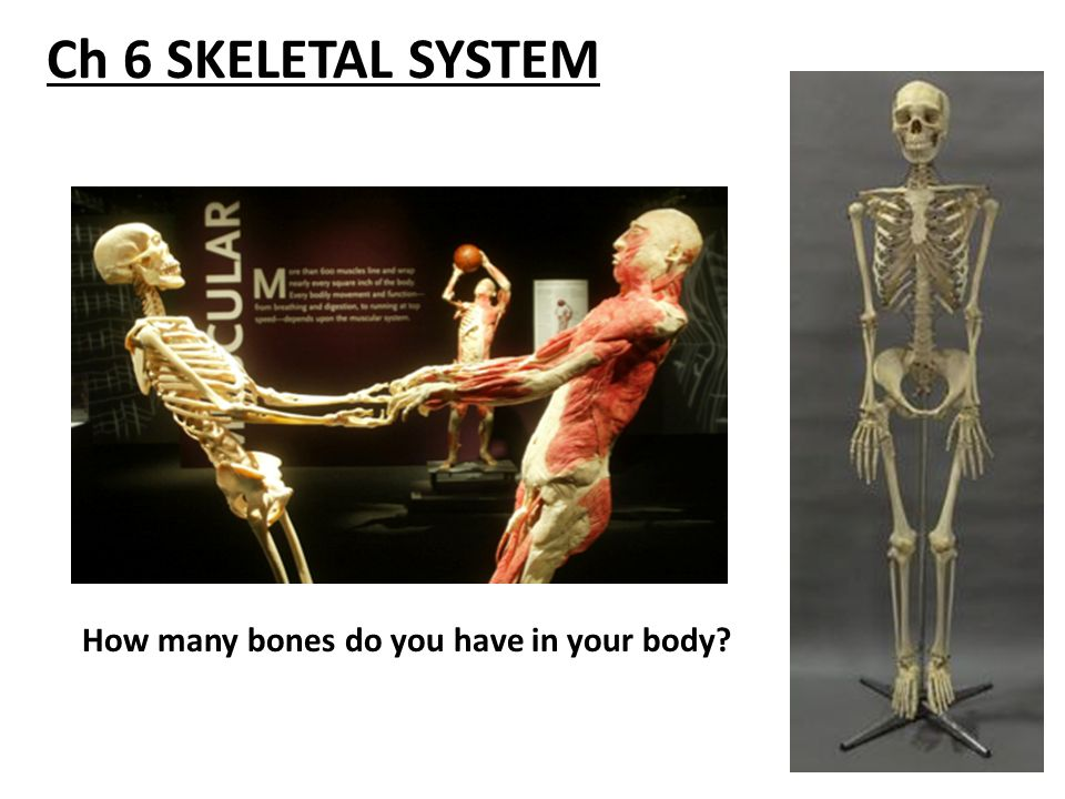 Ch 6 Skeletal System How Many Bones Do You Have In Your Body Ppt