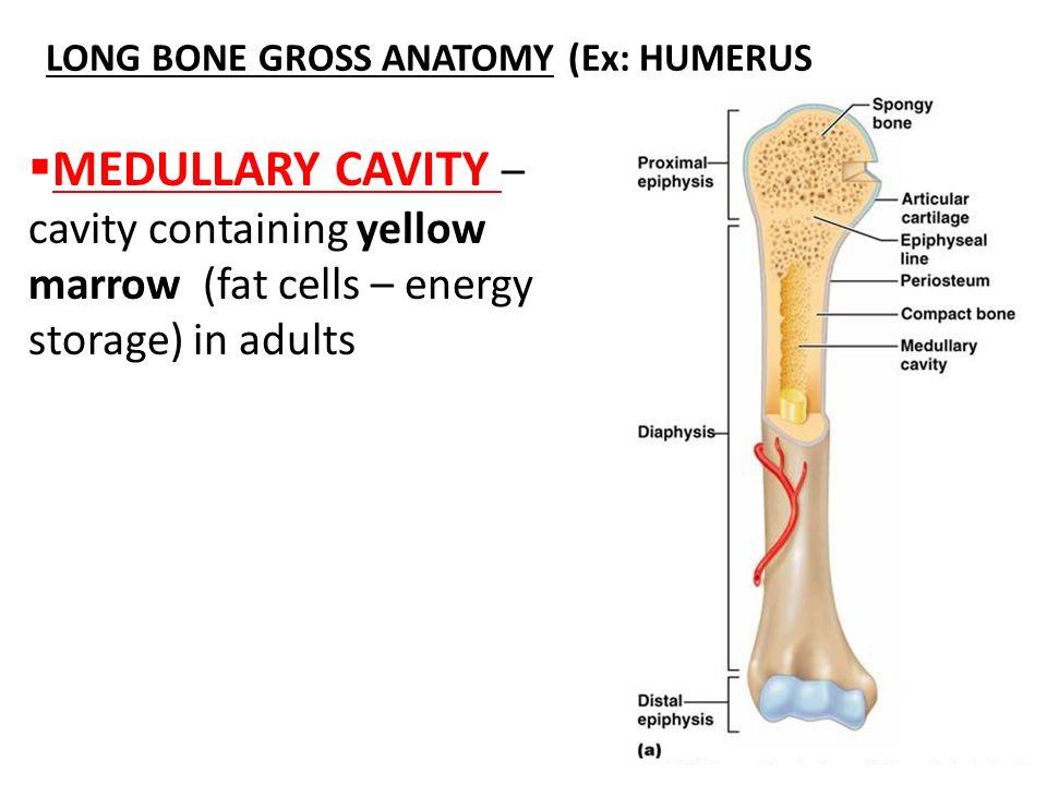 Schn Humerus Anatomie Diagramm Ideen Menschliche Anatomie Bilder