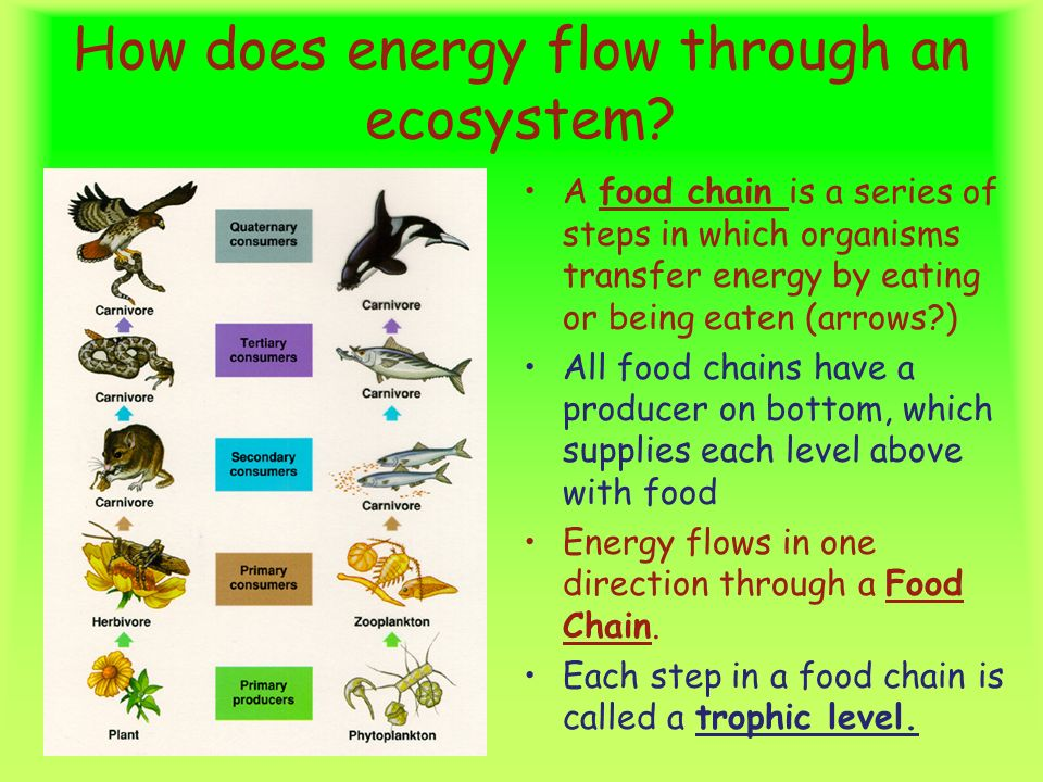 energy flow ecosystem 1 ecology and energy flow ecology and energy flow 9th - 12th grade concepts plants convert energy from the sun into biomass, making it available to other members of an ecosystem.