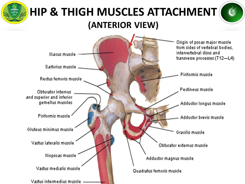 Anatomy of the hip muscles