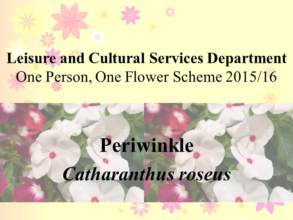 Periwinkle Catharanthus Roseus Ppt Video Online Download - Best of ppt flowers scheme
