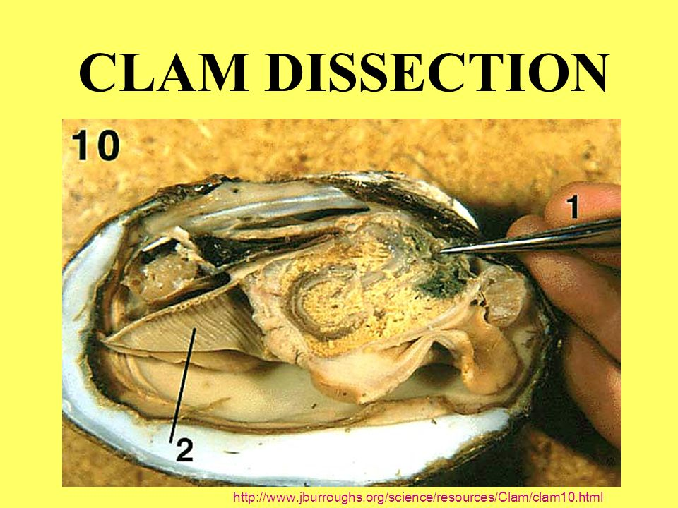 CLAM DISSECTION - ppt video online download